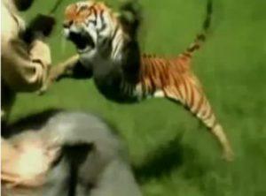 Атака тигра. Видео